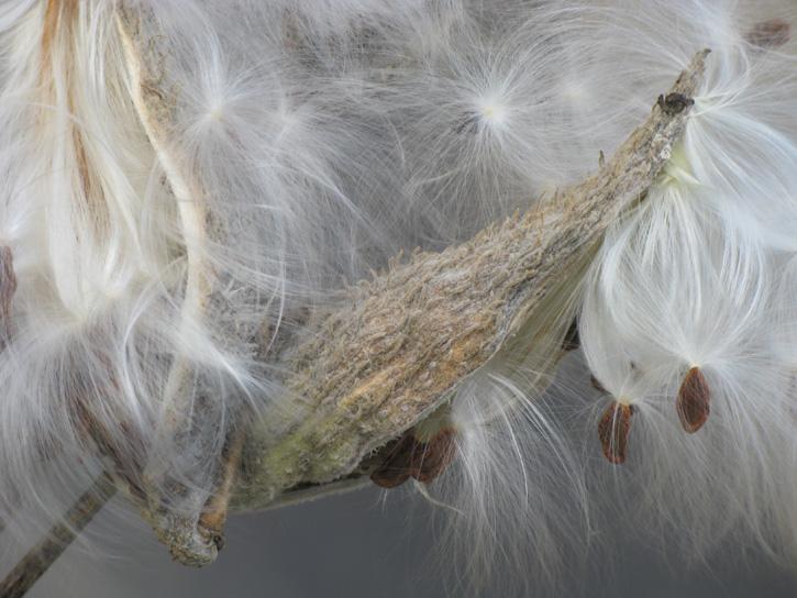 Milkweed © Juliet Goodman