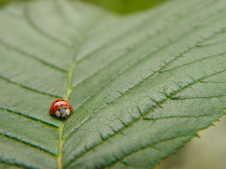 Ladybug © Eric Magnussen