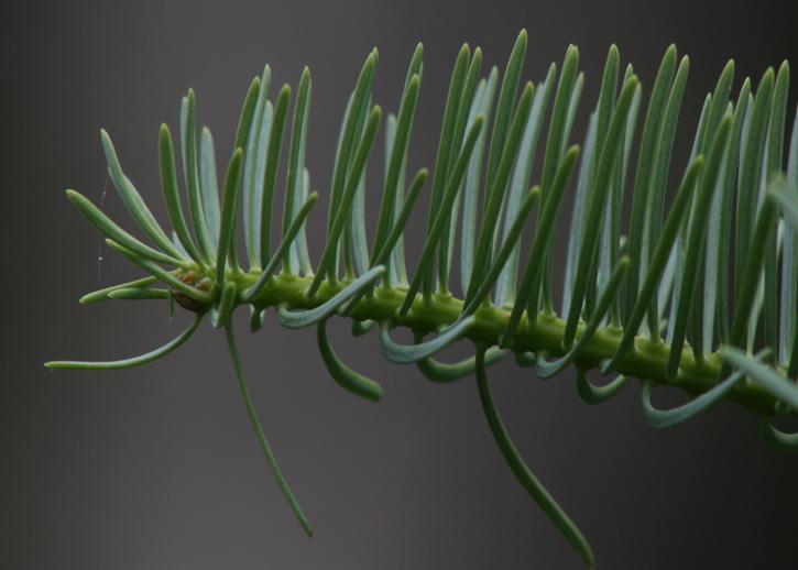 A type of fir, possibly balsam © Bob Quinn