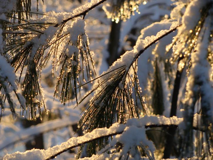 White Pine © Stephen Reidy