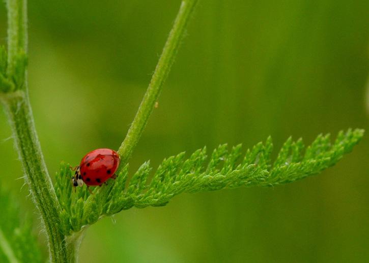 Ladybug © Ashok Boghani