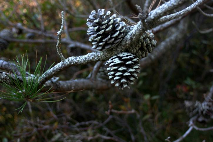 Pitch Pine © Lily Davey