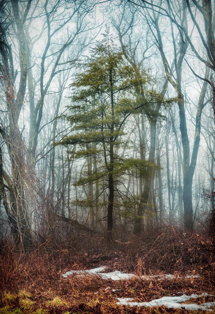 Unidentifiable evergreen, possibly white pine © Scott Bump