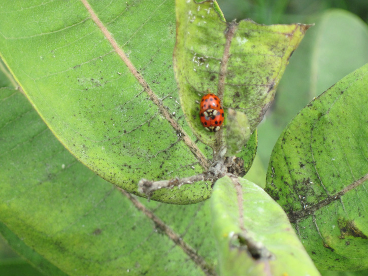 Ladybugs © Rose Grant