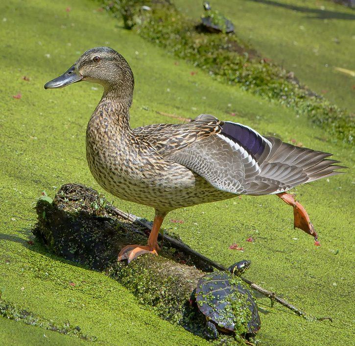 Female Mallard Duck © Solinka Molinero