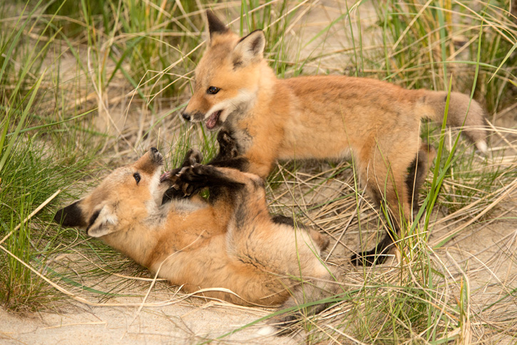 Red Fox Kits © Janet MacCausland