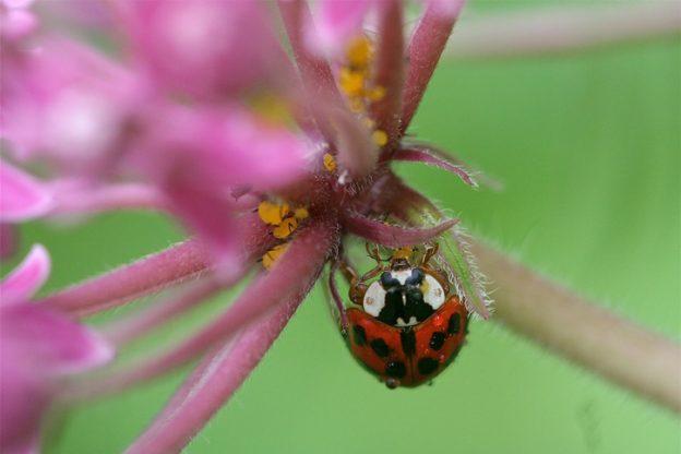 Ladybug © Allyson Via