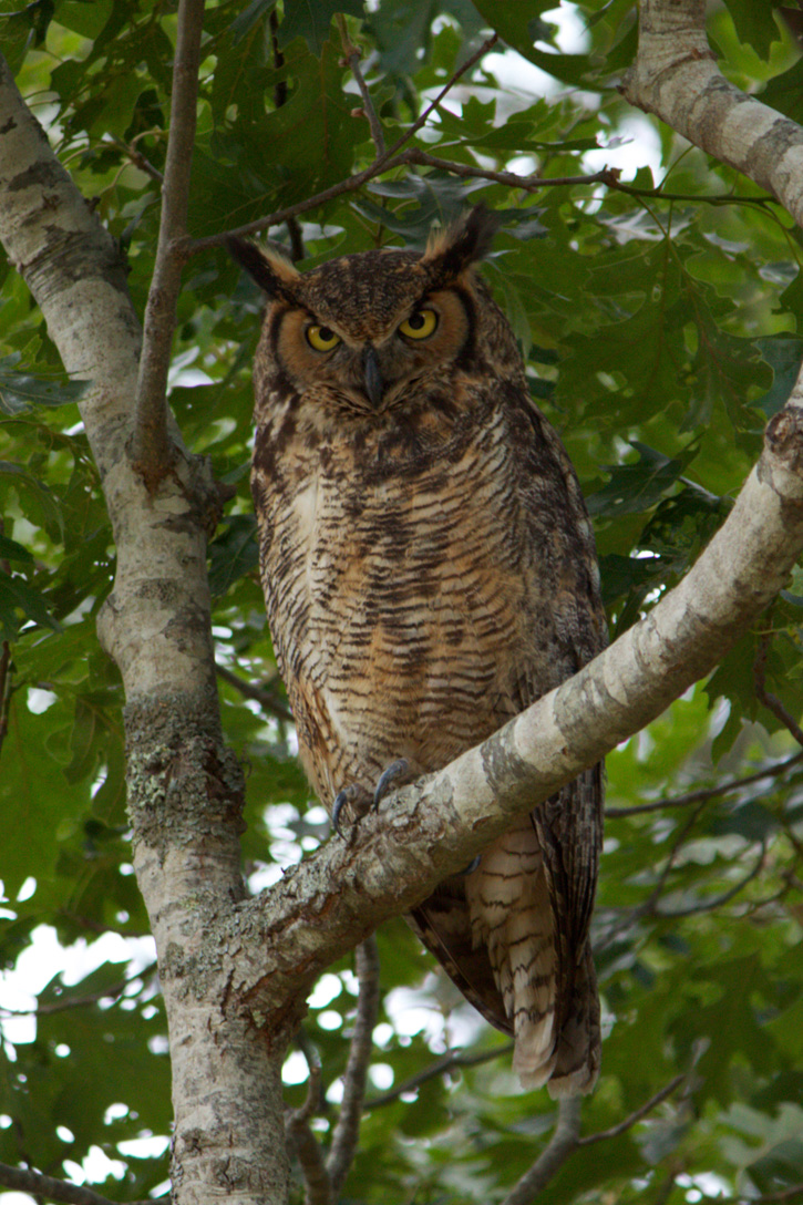Great Horned Owl © Emily Swartz