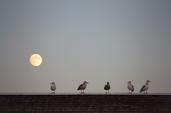 Moon and Herring Gulls © Lucy Loomis