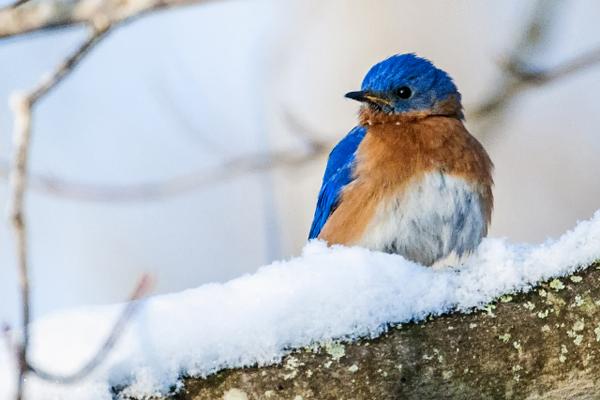 Bluebird Norman Corliss