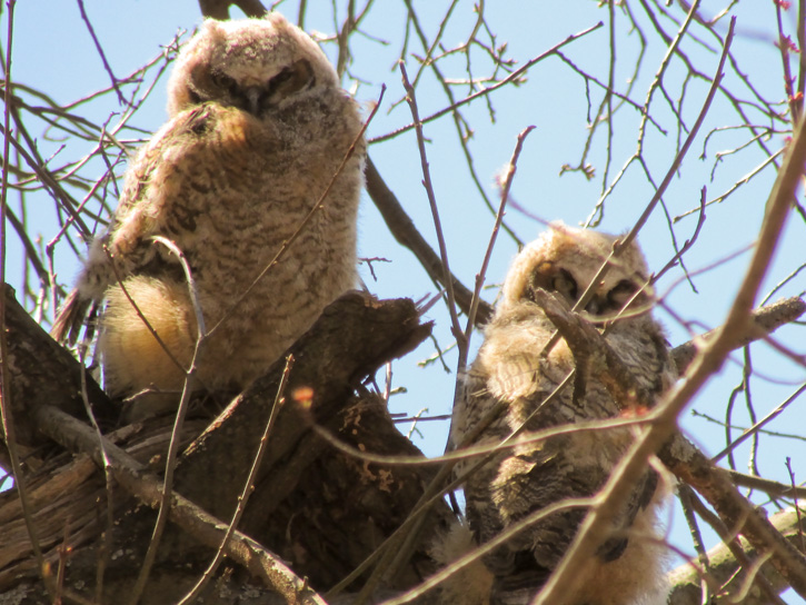 Juvenile Great Horned Owls © Maureen Fregeau