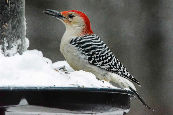 Red-bellied woodpecker © John Jack Mohr