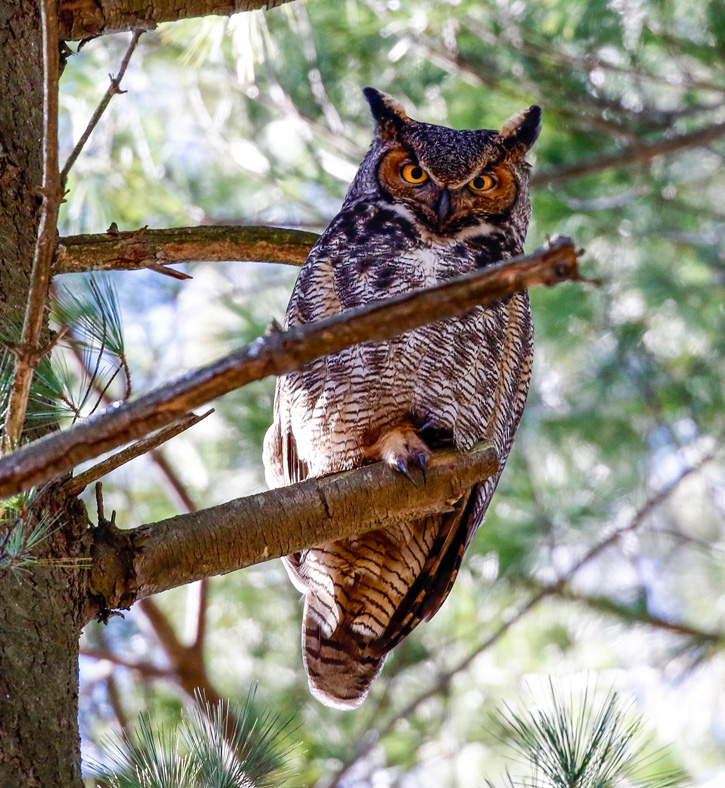 Great horned owl © Katherine Sayn-Wittgenstein