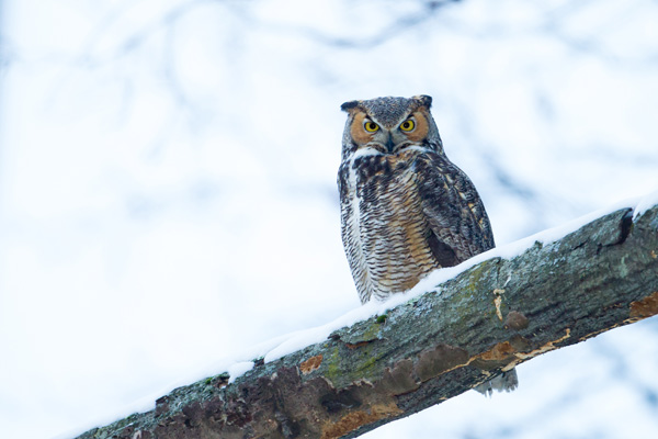 Great horned owl © Phil Sorrentino