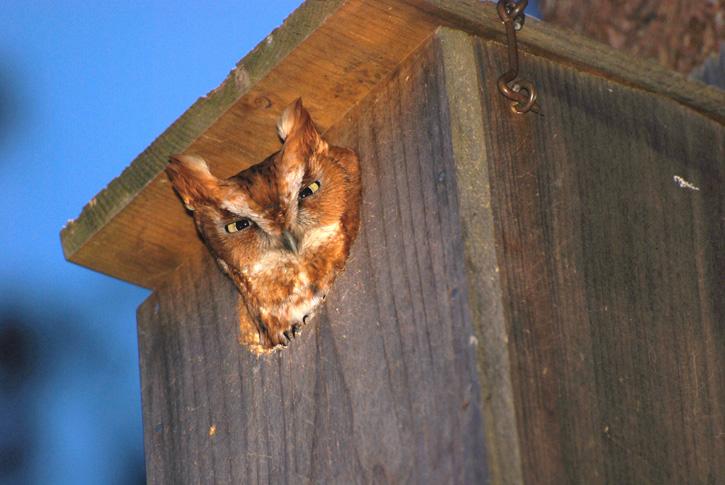 Eastern Screech Owl © Kevin McCarthy