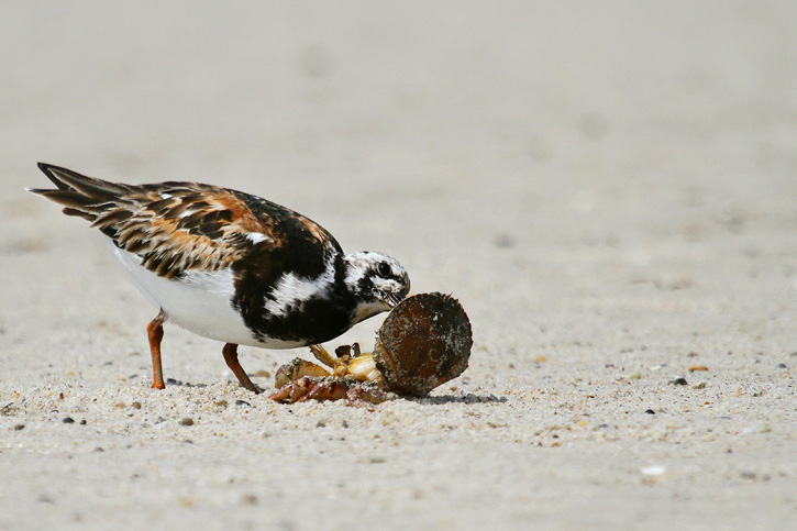 Ruddy Turnstone © Mary Keleher