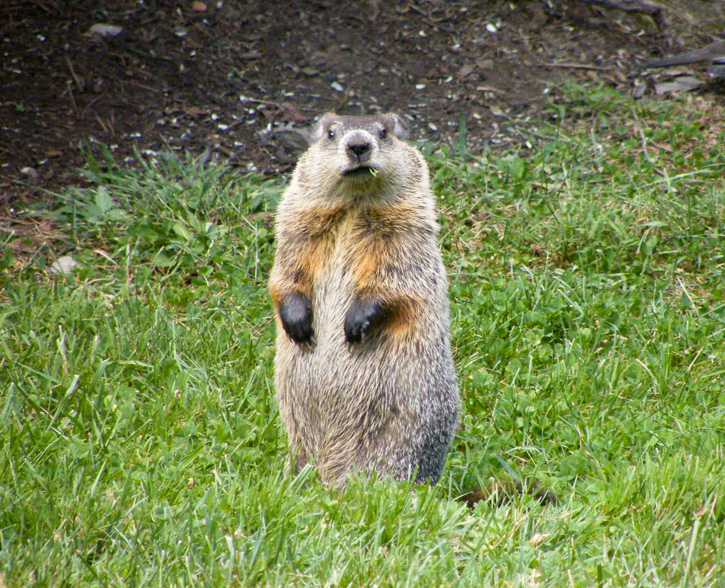 Woodchuck © Rob Smiley