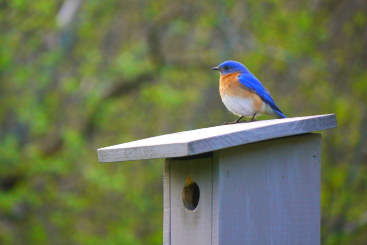 Eastern Bluebird © Mark Grundstrom