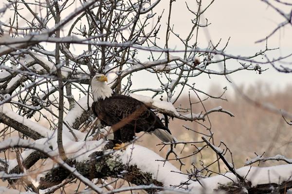 Bald Eagle © Dominic Poliseno