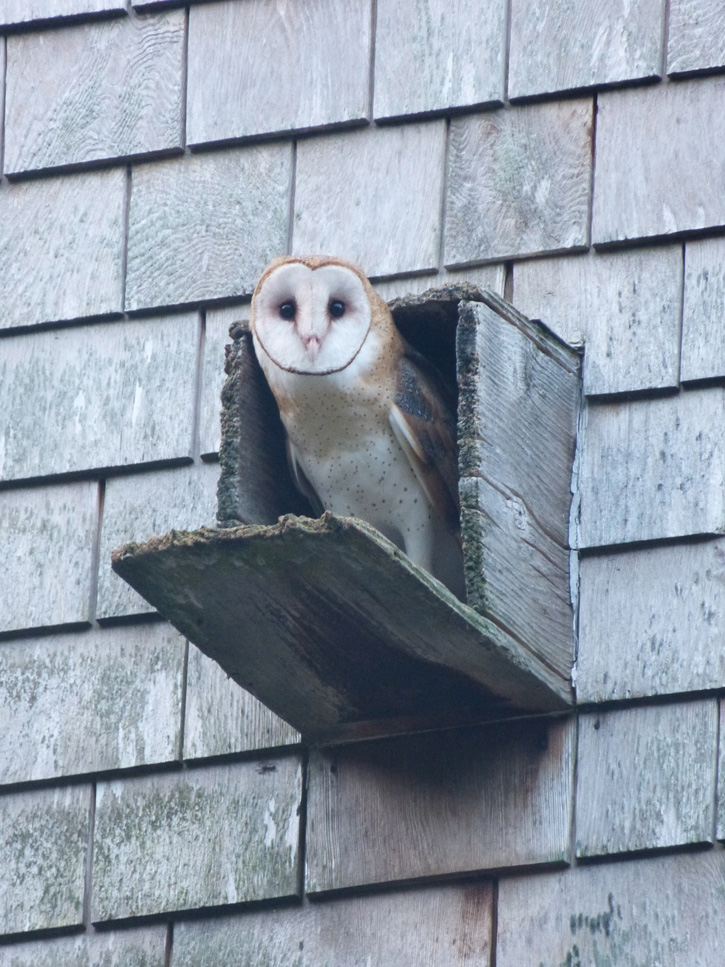 Barn Owl © Brian Rusnica
