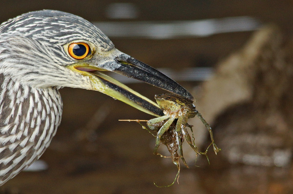Yellow-Crowned Night-Heron © Kimberlee Bertolino