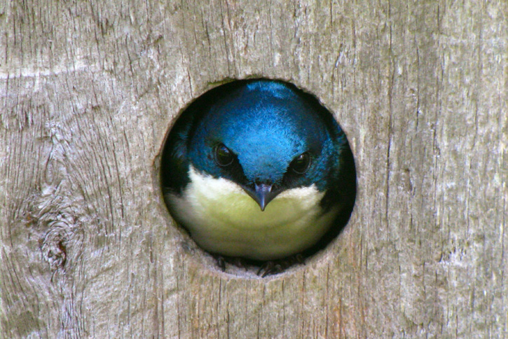 Tree Swallow © Will Sweet