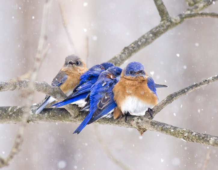 Eastern bluebirds © Cheryl Rose