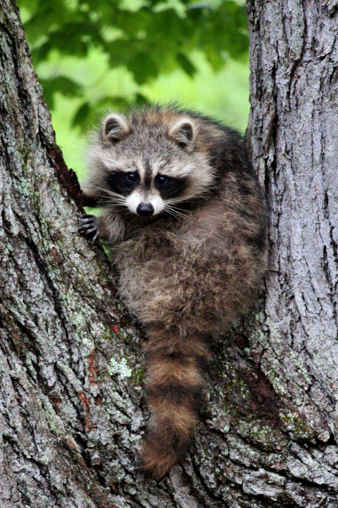 Raccoon © Roberta Dell Anno