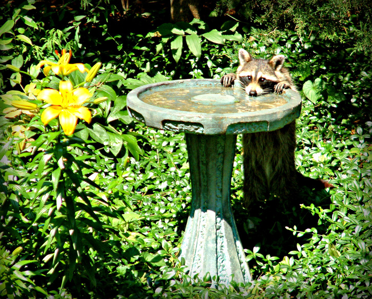 Raccoon © Lisa Gurney