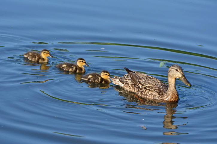 Female mallard swimming with ducklings © Hien Nguyen