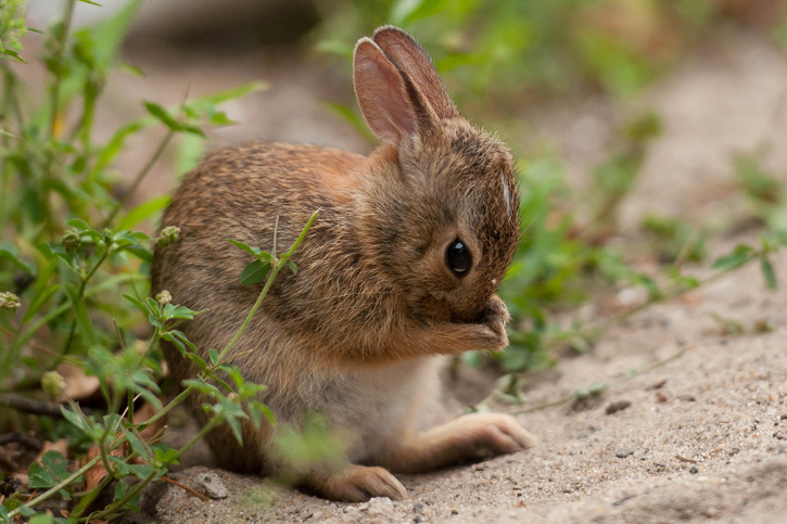 Eastern Cottontail © Susumu Kishihara