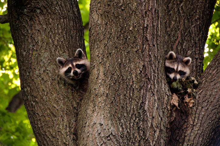 Raccoons © Kwan Cheung