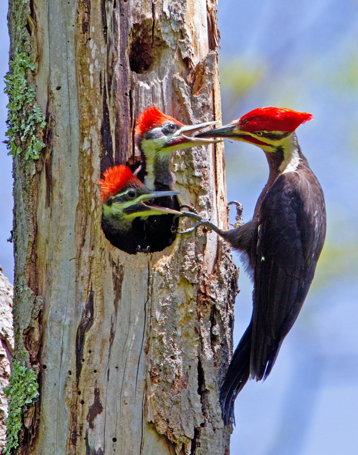 Pileated Woodpeckers © Jacob Mosser
