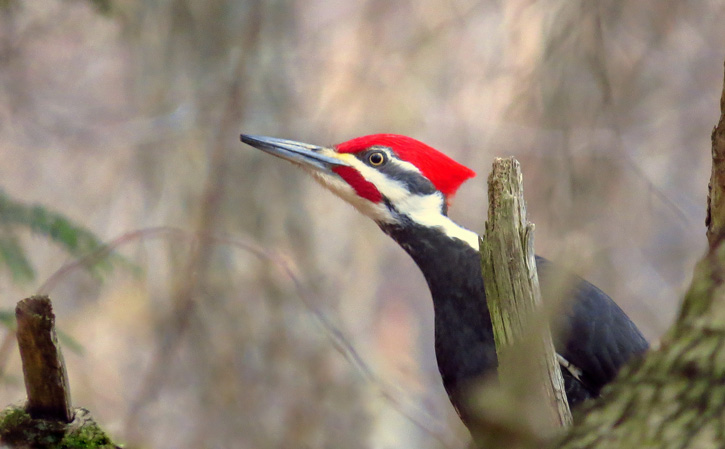 Pileated Woodpecker © Davey Walters