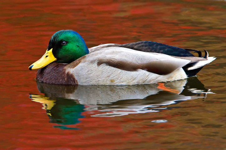 Mallard Duck © Sandy Selesky
