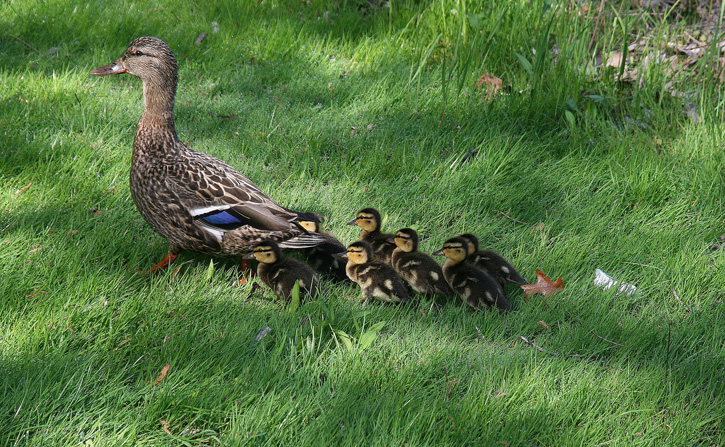 Female Mallard with Ducklings © Virginia Sands