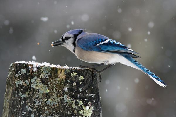 Blue Jay © Sarah Keates
