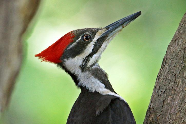 Pileated Woodpecker © Kimberlee Bertolino