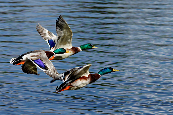 Mallard ducks in flight © Richard Antinarelli