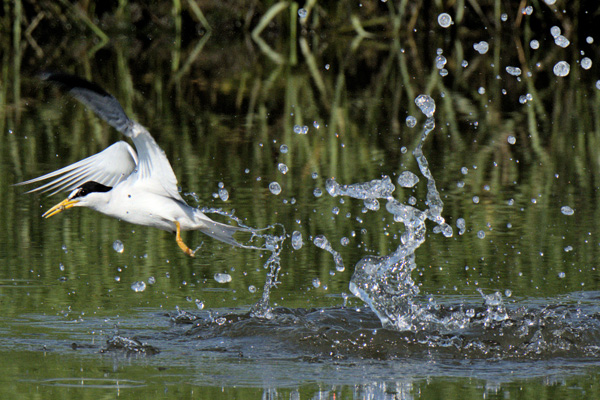 Least Tern © Dennis Durette