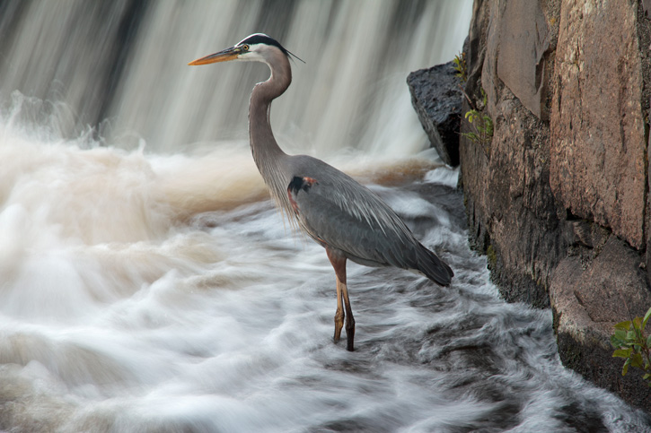 Great Blue Heron © John Elliott