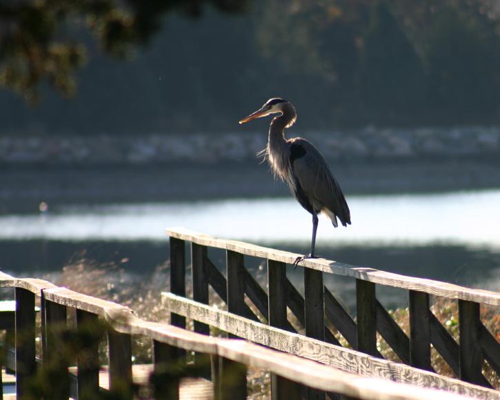 Great Blue Heron © Pat Ramey