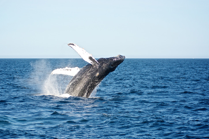 Humpback Whale © Jennifer Childs