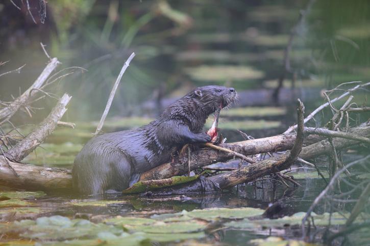 River otter © Jim Renault
