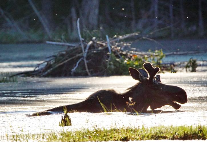 Moose © Claudia Pommer