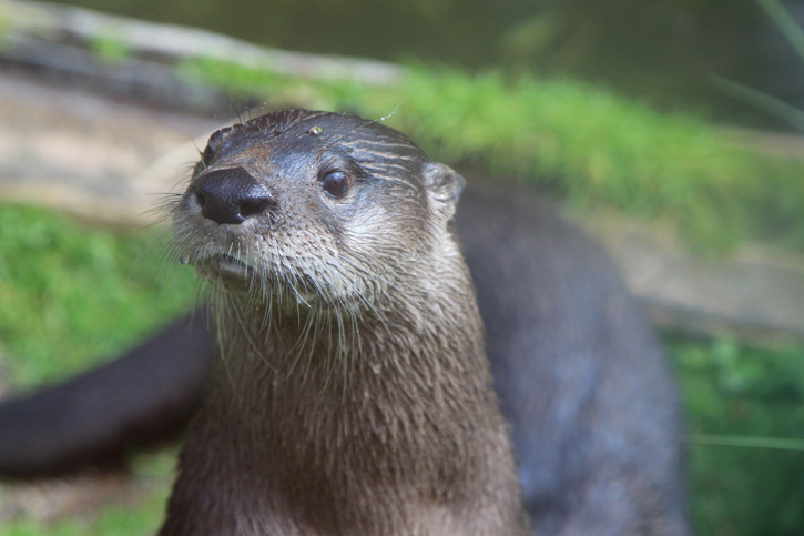 River Otter © Sarah Hatton