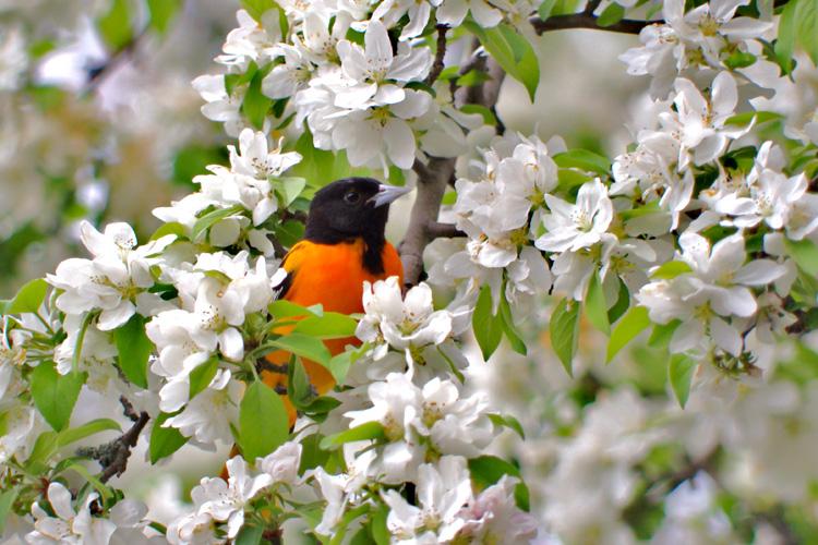 Baltimore Oriole © Eric Hayward