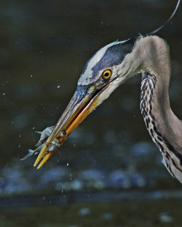 Great Blue Heron © Brooks Mathewson