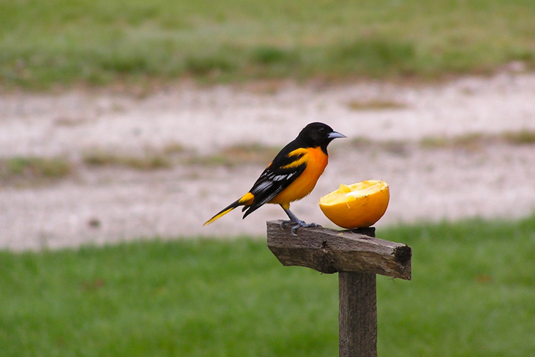 Baltimore Oriole © Bill Sooter