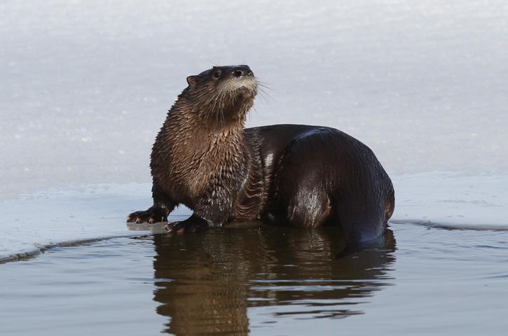 River otter © Joseph Cavanaugh